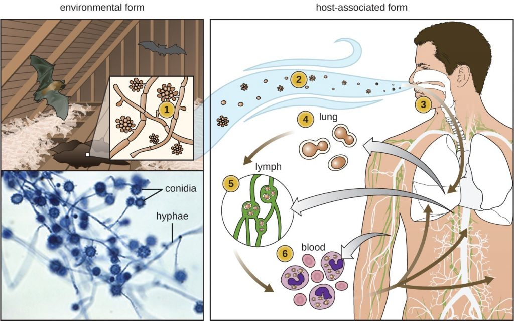 How mold enters your blood stream.